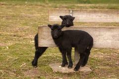 czarny jagnięcy bliźniacy Obrazy Stock