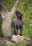 czarny jaguara fotografia royalty free