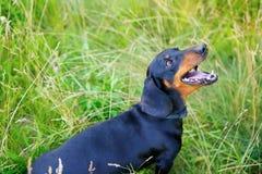 Czarny jamnik mouthed patrzeje up wśród zielonej trawy Fotografia Stock