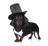 czarny jamnika kapeluszu miniatury waistcoat zdjęcie stock