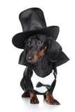 czarny jamnika kapeluszu miniatury waistcoat obrazy royalty free