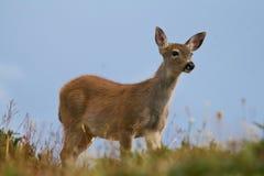 czarny jeleni śledzić Zdjęcia Stock