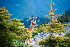 czarny jeleni śledzić zdjęcia royalty free