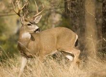 czarny jeleni ogon Obraz Royalty Free