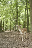 czarny jeleni ugory dziki lasowy Germany Obrazy Stock