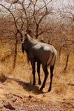 czarny jeleni widok Fotografia Royalty Free