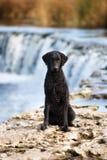 Czarny kędzierzawy pokryty aporteru pies fotografia royalty free