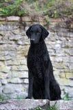 Czarny kędzierzawy pokryty aporteru pies zdjęcie stock