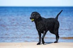 Czarny kędzierzawy pokryty aporteru pies na plaży obrazy stock