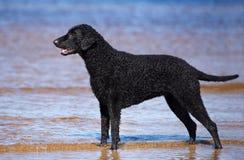 Czarny kędzierzawy pokryty aporteru pies na plaży obrazy royalty free