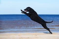 Czarny kędzierzawy pokryty aporteru pies skacze up obraz stock