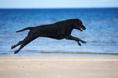 Czarny kędzierzawy pokryty aporteru psa bieg na plaży zdjęcie stock