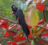 czarny kakadu Fotografia Royalty Free