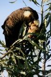 czarny kakadu Obraz Royalty Free