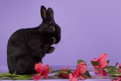 Czarny karłowaty królik na purpurowym tle Obrazy Royalty Free