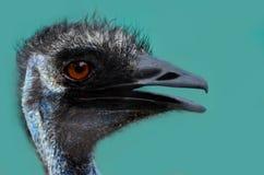 Czarny kierowniczy emu Obrazy Royalty Free