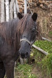czarny kierowniczy koń Obrazy Stock