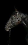 czarny kierowniczy koń Fotografia Stock