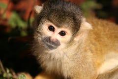 czarny kieruje małpia wiewiórka Zdjęcia Royalty Free