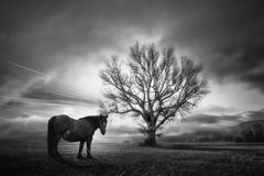 Czarny koń i dąb zdjęcia royalty free