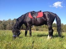czarny koń Zdjęcia Royalty Free