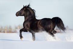 Czarny koń biegający w wintertime Fotografia Stock