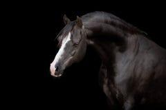 Czarny koń odizolowywający na czerni Obrazy Stock