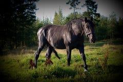 Czarny koń w łące Fotografia Stock
