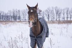 Czarny koń z białą blask pozycją w śnieżnym polu Fotografia Stock