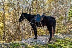 Czarny koń z comberów stojakami w naturze w jesieni obrazy royalty free