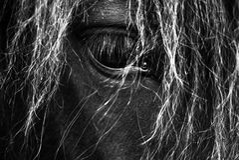 Czarny Koński portret Czarny I Biały - Islandzki koń - Obraz Stock