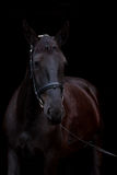 Czarny koński portret na czarnym tle Fotografia Stock