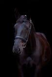 Czarny koński portret na czarnym tle Zdjęcia Stock