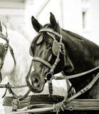 Czarny koń Obrazy Royalty Free