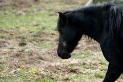 Czarny koń na gospodarstwie rolnym zdjęcia royalty free