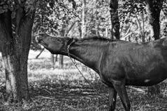 Czarny koń na smyczu w parku Zdjęcia Stock