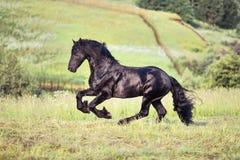 Czarny koński gallopin w polu Zdjęcia Royalty Free