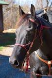 czarny koński portret Zdjęcie Stock