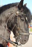czarny koński portret Fotografia Royalty Free