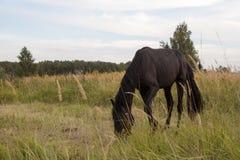 Czarny koń w zielonej trawie Fotografia Royalty Free