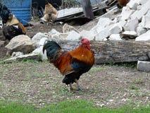 Czarny kogut jest znacząco odprowadzeniem w rolnym jardzie Fotografia Stock
