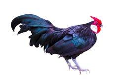 Czarny kogut odizolowywający zdjęcie stock