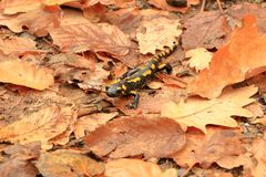 Czarny kolor żółty dostrzegał Europaean pożarniczego jaszczura Salamandra zdjęcia stock