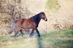Czarny konia bieg uwalnia w łące Fotografia Royalty Free