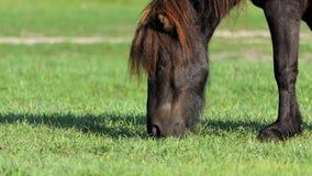 Czarny konika koń pasa trawy przy jeziorem w lecie w mo zbiory