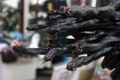 Czarny koralowy wąż suchy out fotografia stock