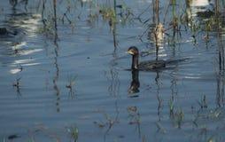 Czarny kormoranu pływanie Zdjęcie Stock