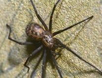 Czarny Koronkowy tkacza pająk C zdjęcie stock