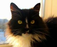 czarny kot Obrazy Royalty Free