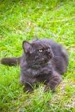 Czarny kot bawić się na trawie Zdjęcie Royalty Free
